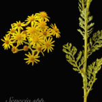 Poisonous Plant for Horses: Tansy Ragwort